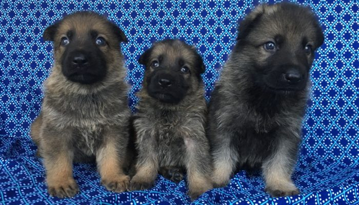Male German Shepherd puppies for sale by PSD kennels Poplarville Mississippi