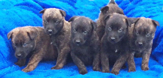 Dutch Shepherd Puppies from PSD Kennels