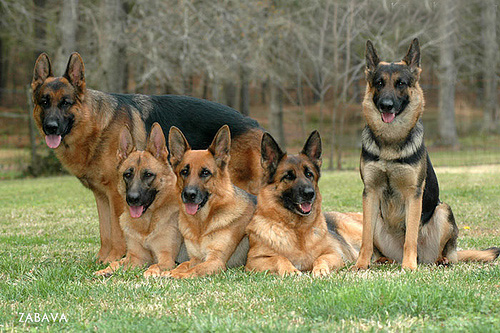 PSD Kennels working Police service dogs German Shepherd dogs