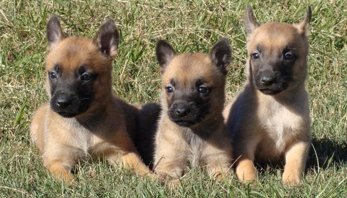 belgian malinois puppiesfrom psd kennels