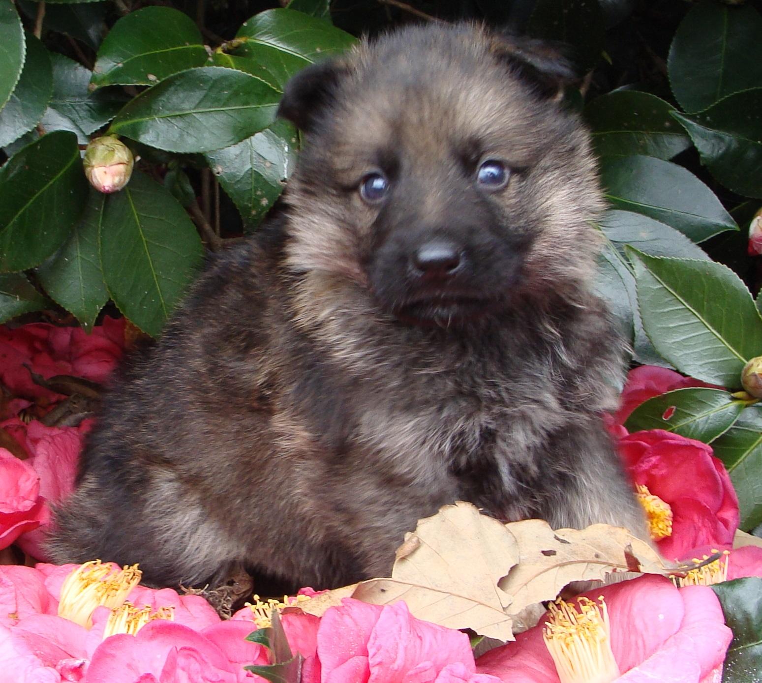PSD German Shepherd Puppy named maxwell