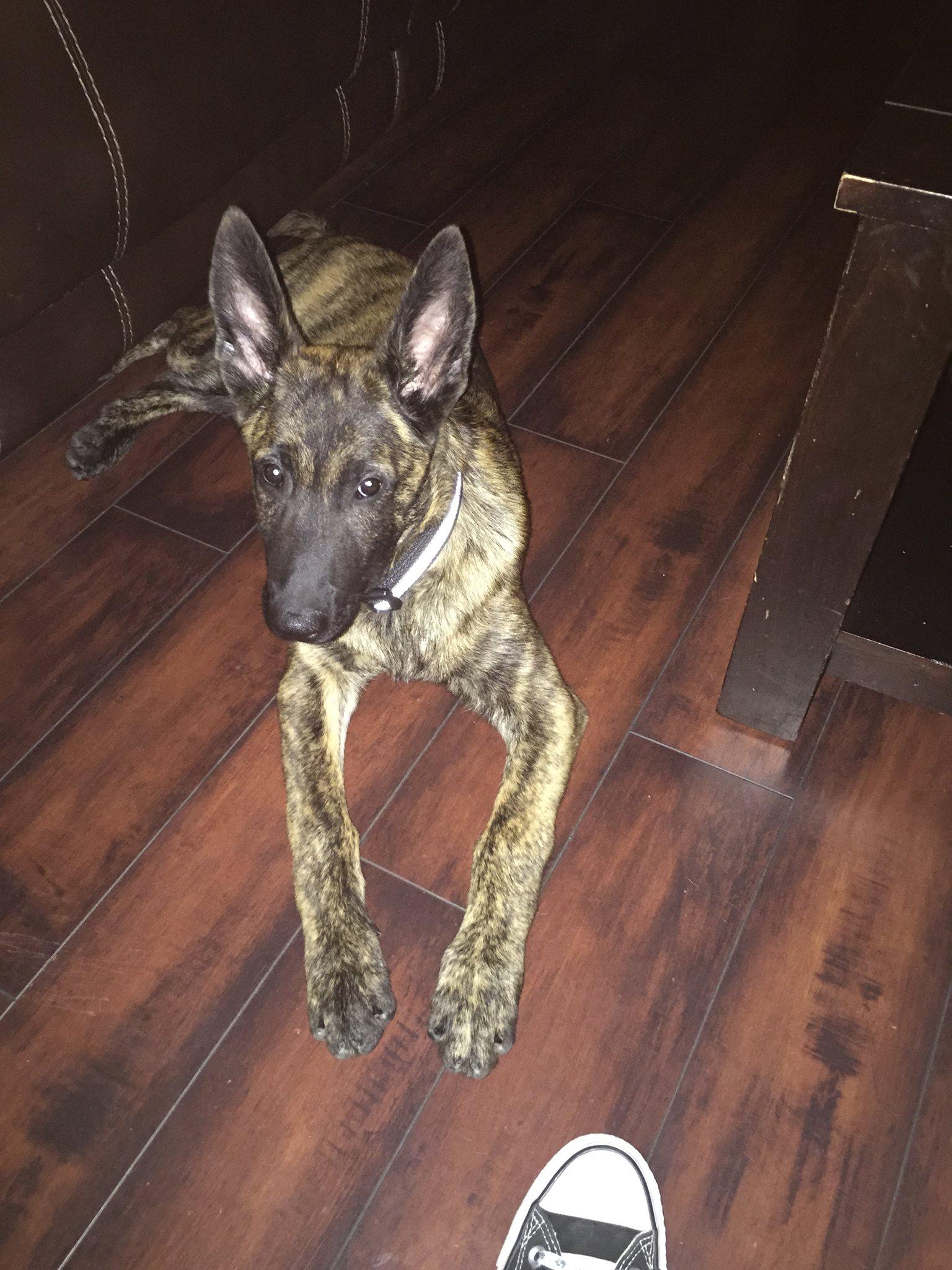 Odin PSD Puppy