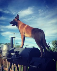 PSD Belgian Malinois review and update