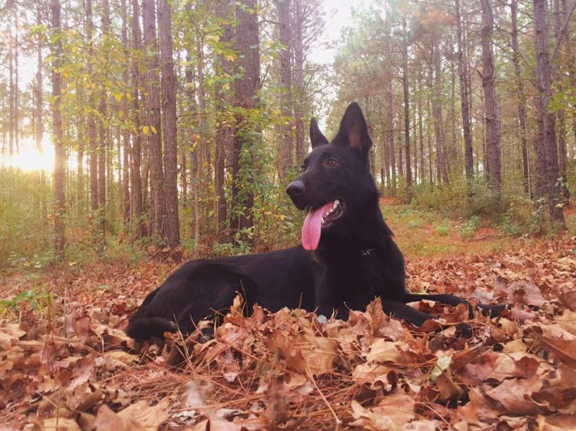 review of all black german shepherd form psd kennels in poplarville ms
