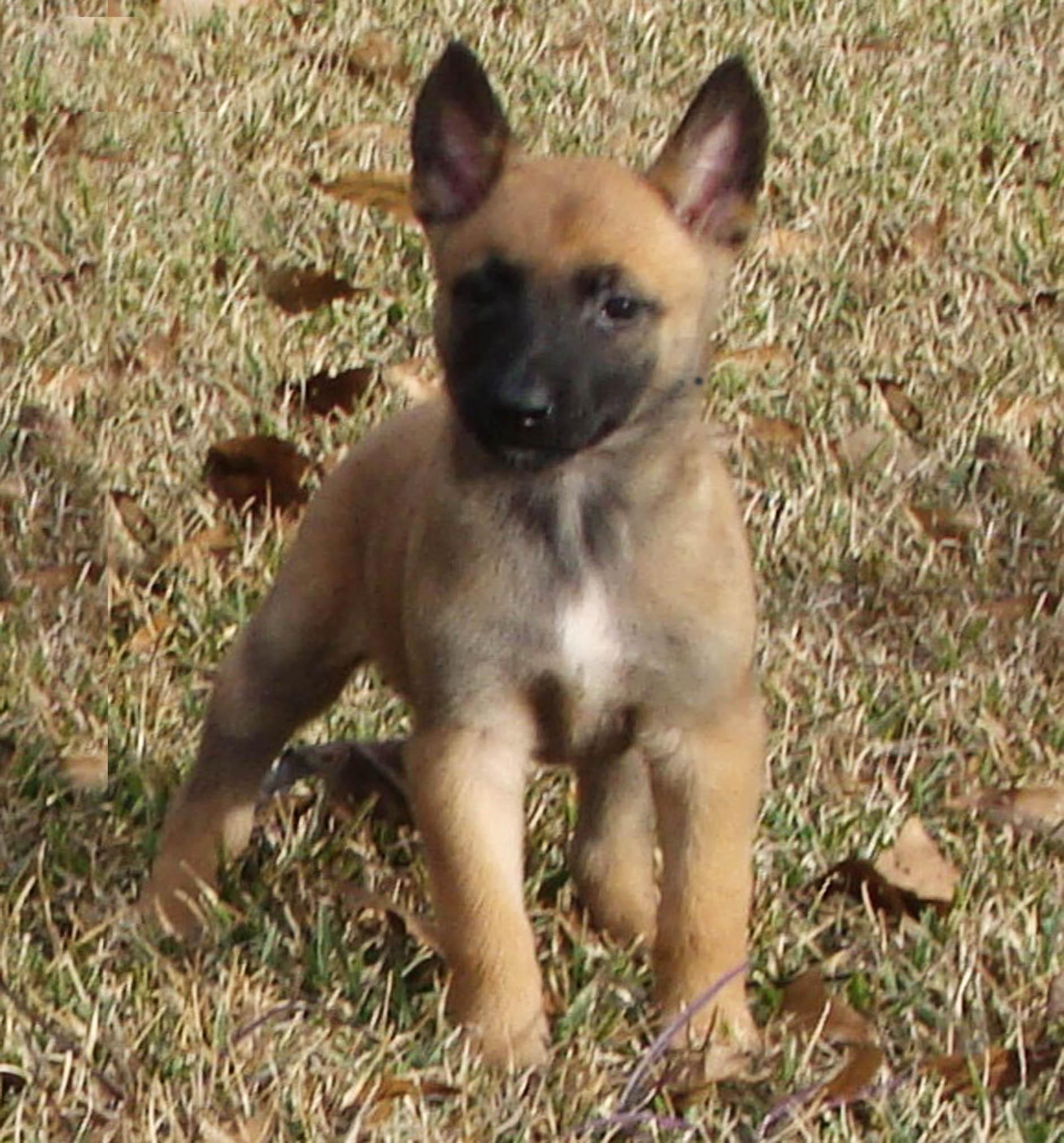 aiden PSD Belgian Malinois puppy